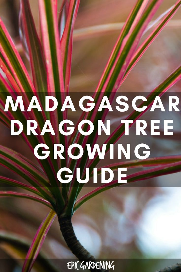 dracaena marginata care instructions